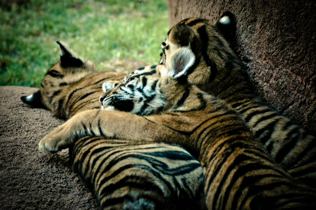 Rare Sumatran Tigers Born at the OKC Zoo