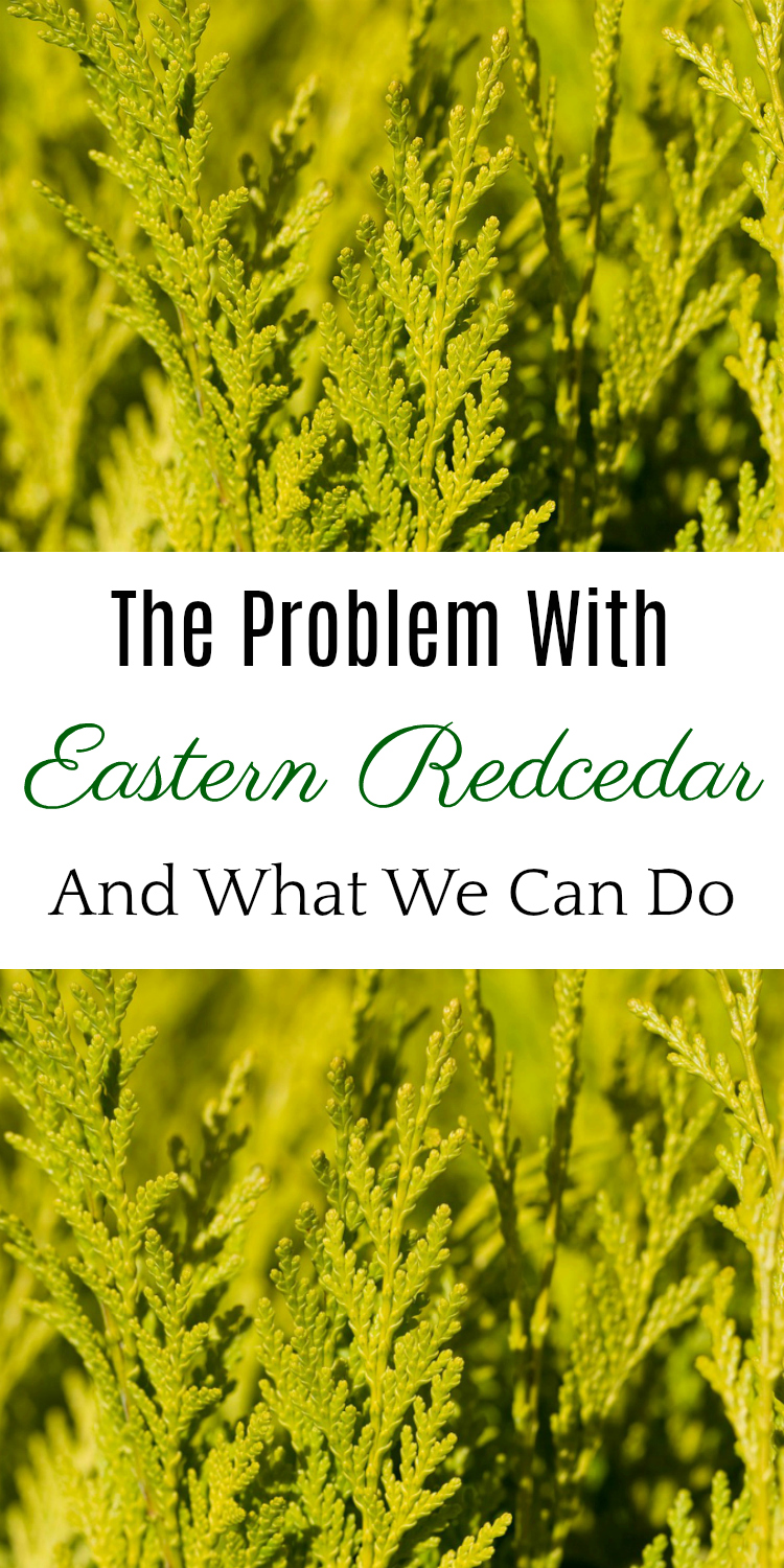The Problem with Eastern Redcedar, Red Cedar, Cedar Fever, Oklahoma Cedar