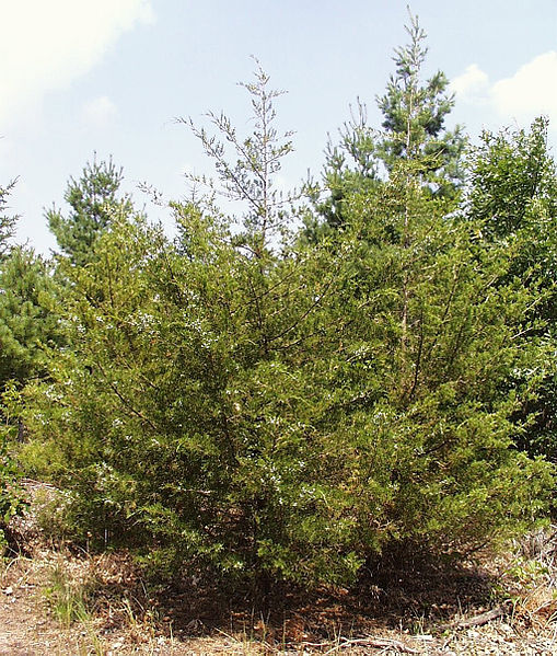 The Eastern Redcedar Problem