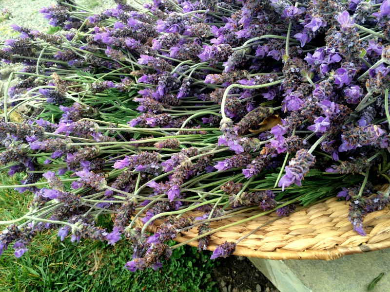 Herbal Oils and Your Home Apothecary: Lavender Infused Oil