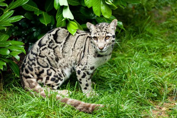 Female Clouded Leopard Sitting Under Bush