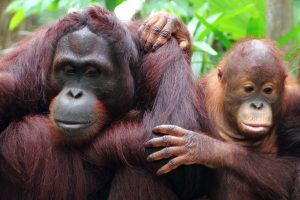 How Palm Oil is Killing Endangered Species