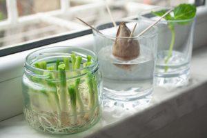 food scraps growing on window