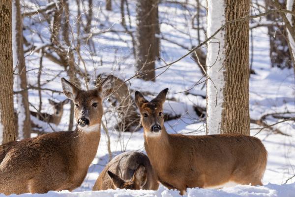 deer in the Oklahoma winter